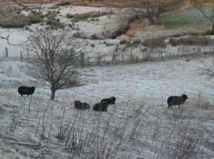 Janathon sheep - predicted to occur again within the first two days of Janathon 2013